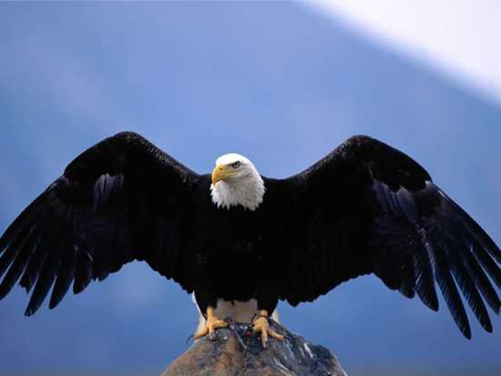 Bald Eagle-Wingspan-1024X768