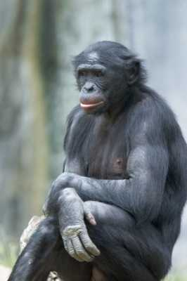 Bonobo2-M