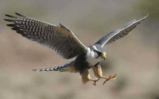 Peregrine-Falcon-3