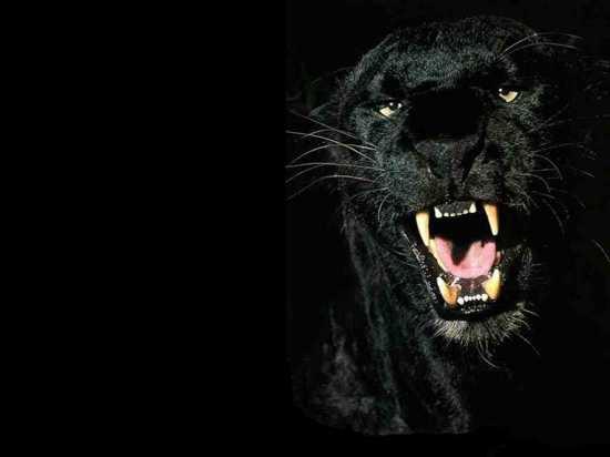Black-Panthers-Black-Panthers-31170206-1024-768