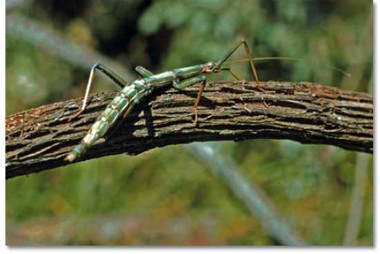 Gulf-Coast-Walking-Stick