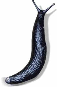 Black Slug