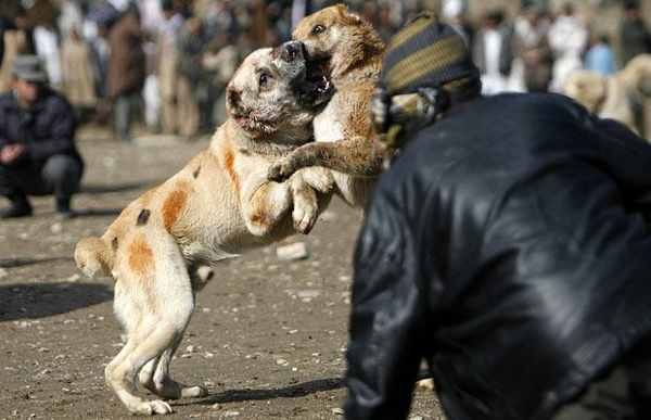 Dog-Fighting 1249928I