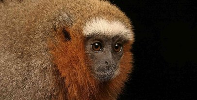 Red-Titi-Monkey