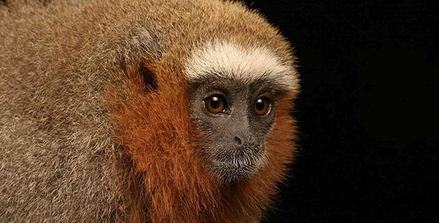 Red-Titi-Monkey