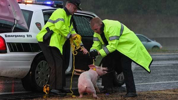 Pig Emergency