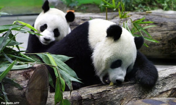 Romantic Chinese New Year For Panda Couple-Topimage