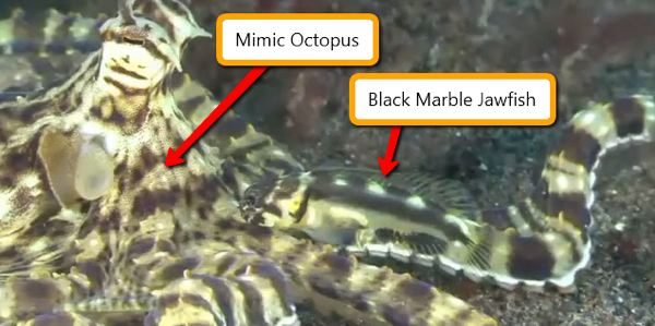 Black Marble Next to Mimic Octopus