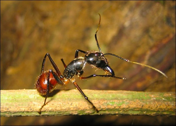 Malaysian-Ant-