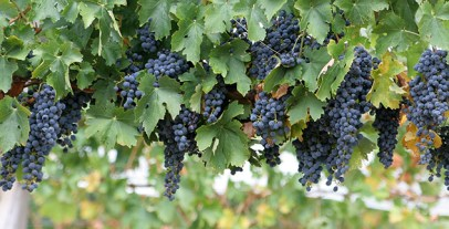 grapes