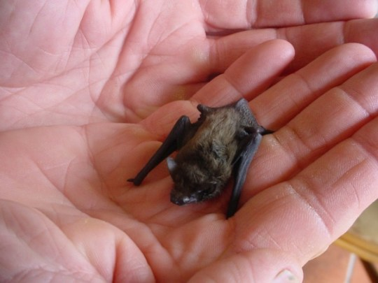 Hog Nosed Bat