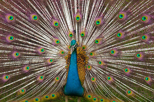 Indian Peacock Plumage