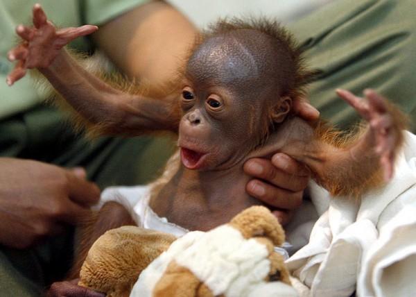 OrangutanR_800x570