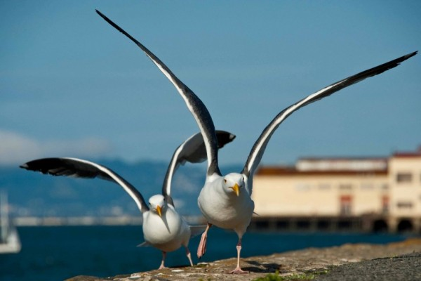 Western-Gull-San-Francisco-Focus-on-Trevor-950x633