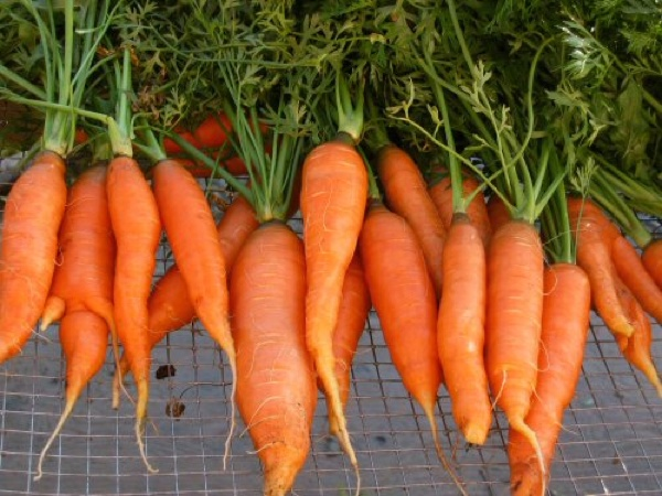 Fal2007 Touchon Carrots