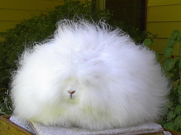 Angora-Rabbit4