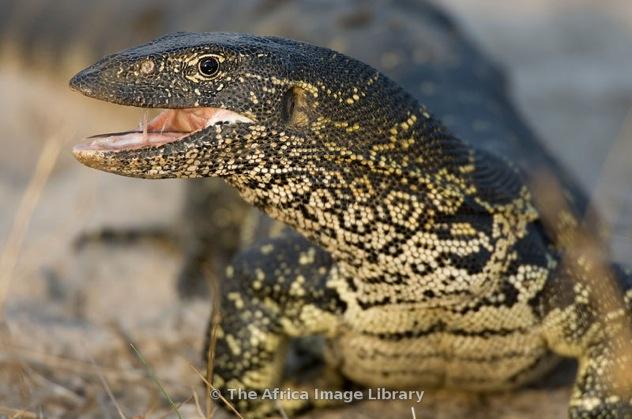 Bo-Ok-Monitor Lizard-08-0003 Xlarge