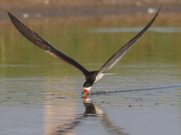Black Skimmer By Dan Pancamo 2