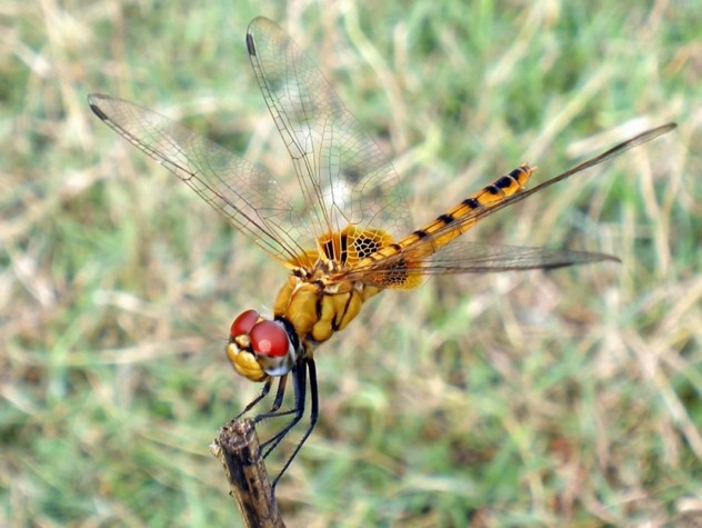 Pantala Flavescens - Wandering Glider