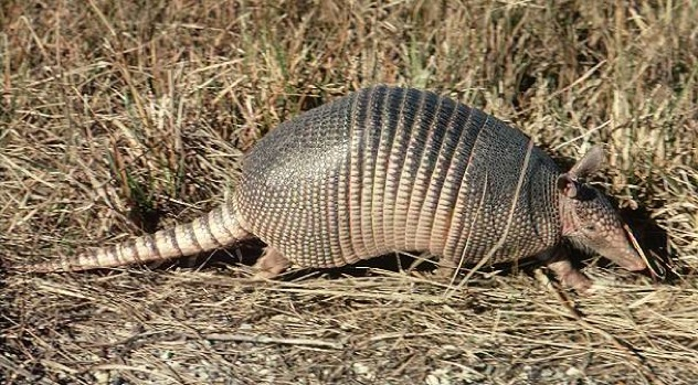 Co Mammals Nine Banded Armadillo