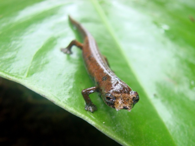 Et Salamander Bolitoglassa Sp Nov Jessica -Deichmann