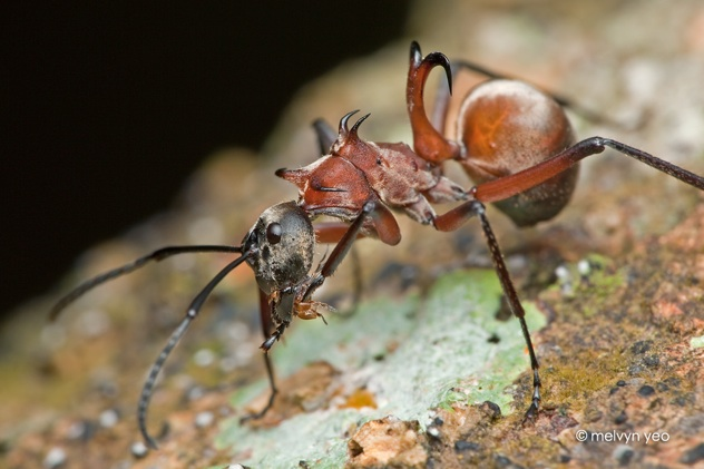 Fish Hook Ant  Polyrhachis Bihamata  By Melvynyeo-D52P0Ra