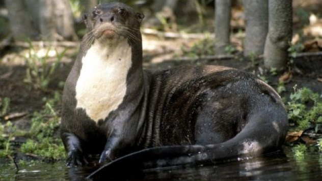 giant-otter_542_600x450