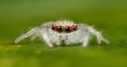 rsz_jumping_spider_2nd_instar_by_macrojunkie