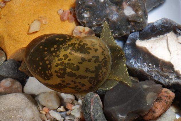 wandering snail