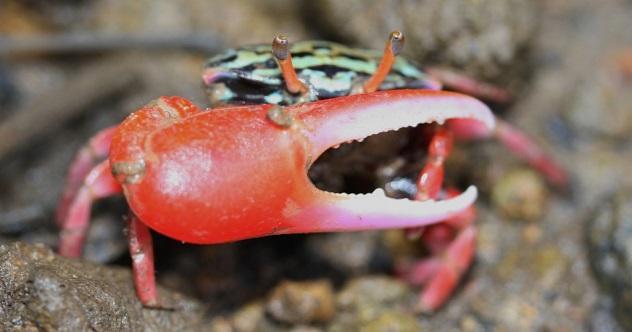 Fiddler_Crab_(Uca_crassipes-)_(6262758647)