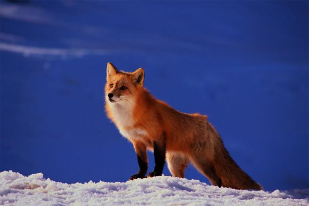 8- fox