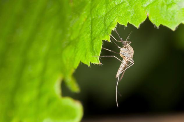 1- mosquito