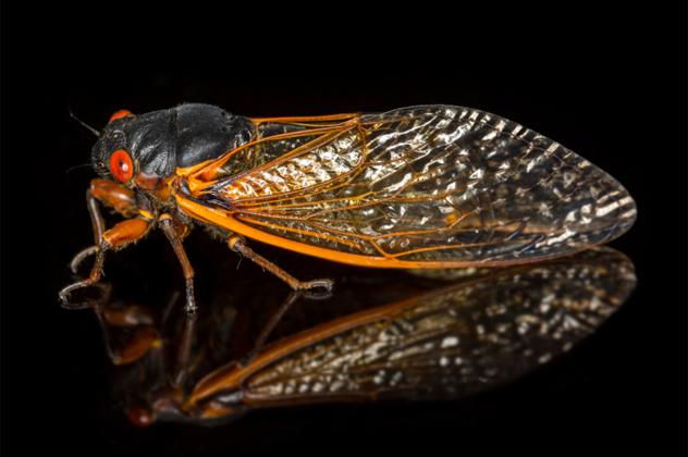 10- cicada