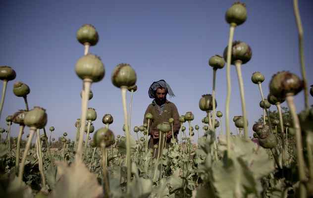 Poppies Cultivated At Kandahar Farm