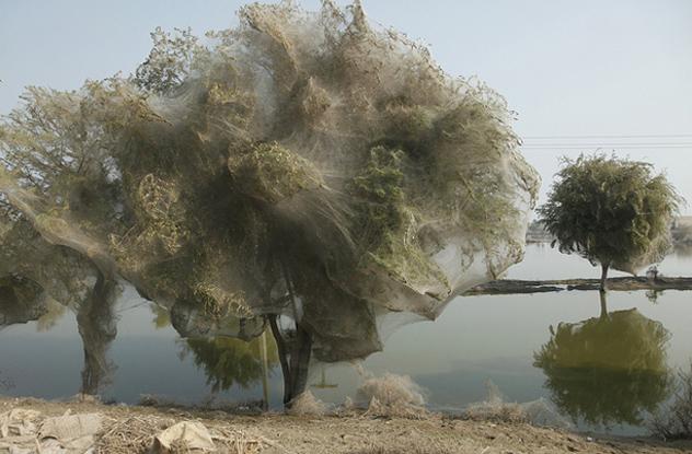 Camel Spider Web