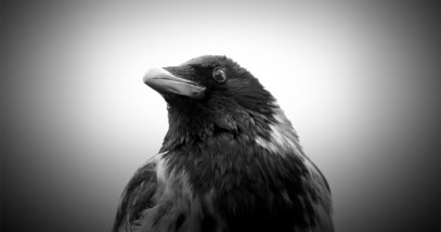featured ravens