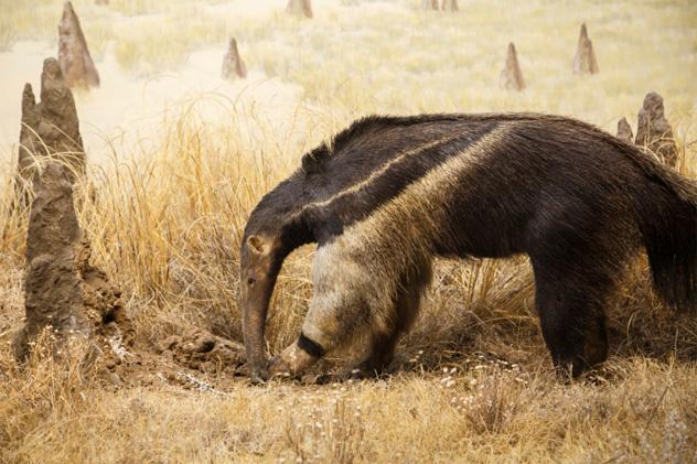 6- anteater
