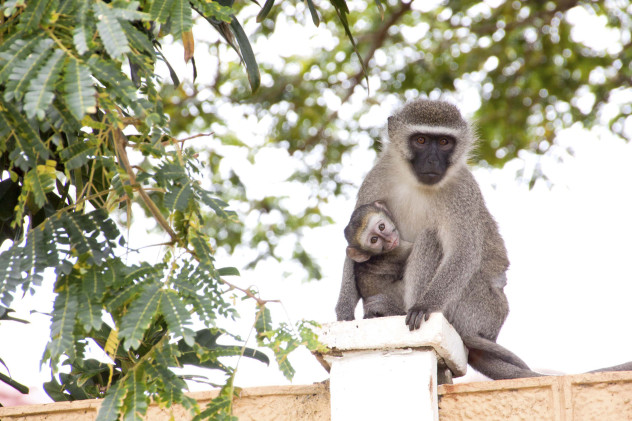 7 vervet monkey