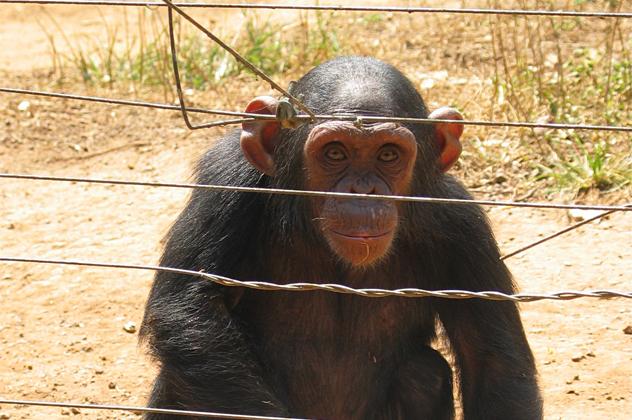 1- chimp