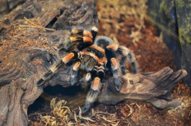 6 spider