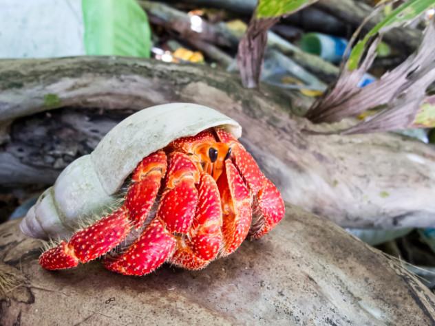 cannibal hermit crab