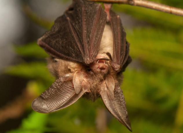 bat with hella ears