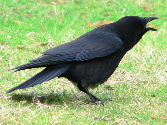 1 crow