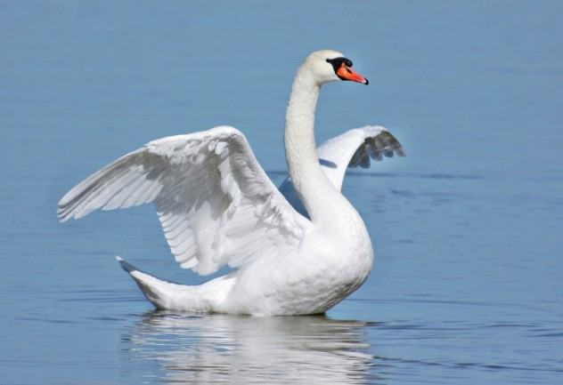 1 swan