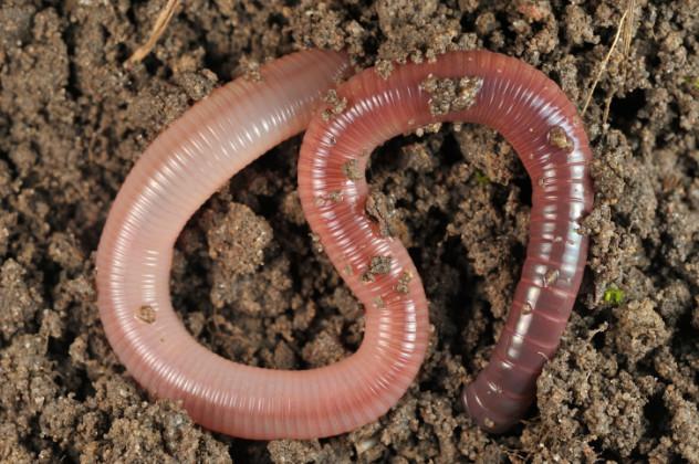 2 worm