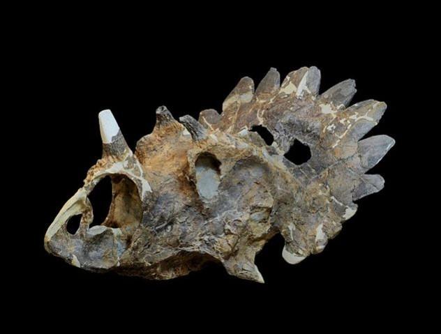 Regaliceratops_peterhewsi_Skull