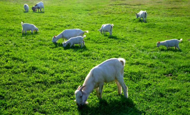 3-goats-125988756-632x384