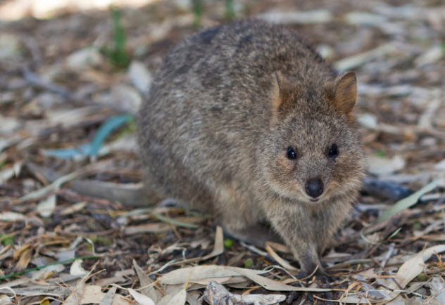 7a-quokka-use-this-464935492