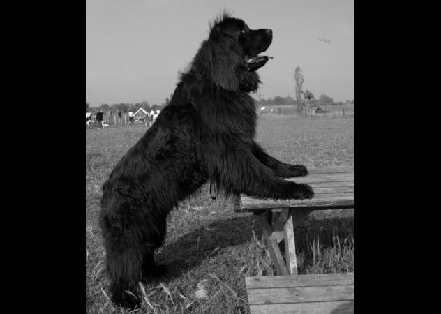 9a-gray-newfoundland-dog-140442317