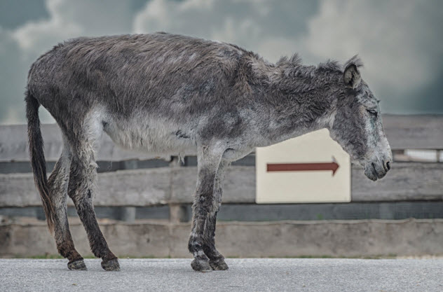 5a-suffering-donkey_000025488003_Small